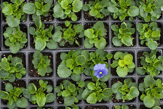 pansy plants and blue pansy flower