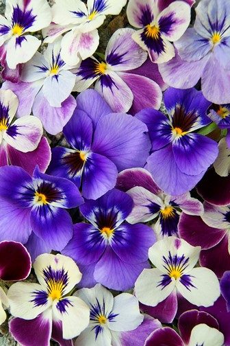 colorful floral setting with purple pansies
