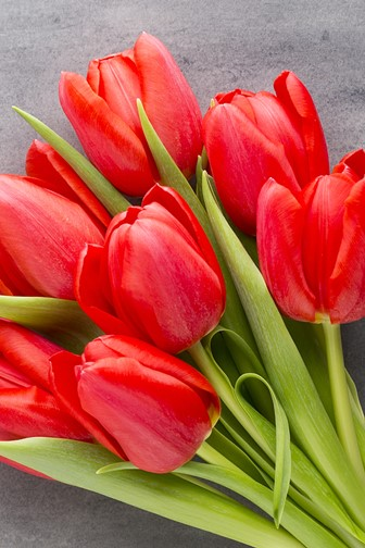 red tulips on a wood background